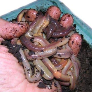 Tauwürmer - Terraristik